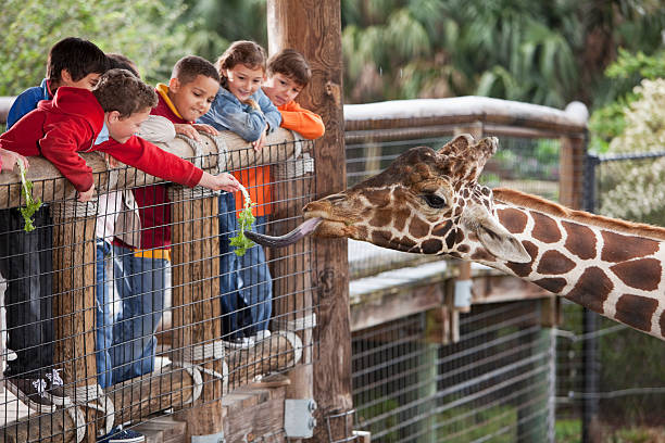 Children at zoo feeding giraffe Multi-ethnic group of children (7 to 11 years) at zoo.  Focus on giraffe and boy in foreground feeding giraffe. zoo stock pictures, royalty-free photos & images