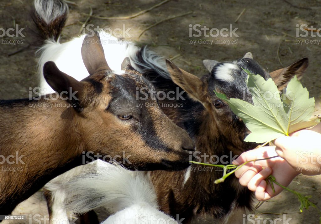 Children feeding young goats with maple leaves royalty-free stock photo