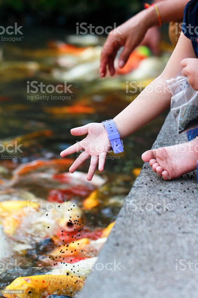 children hand feeding to fancy koi carp in pond photo libre de droits