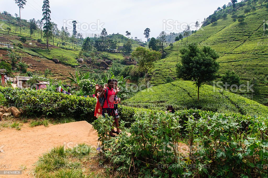 Children on the tea plantation stock photo