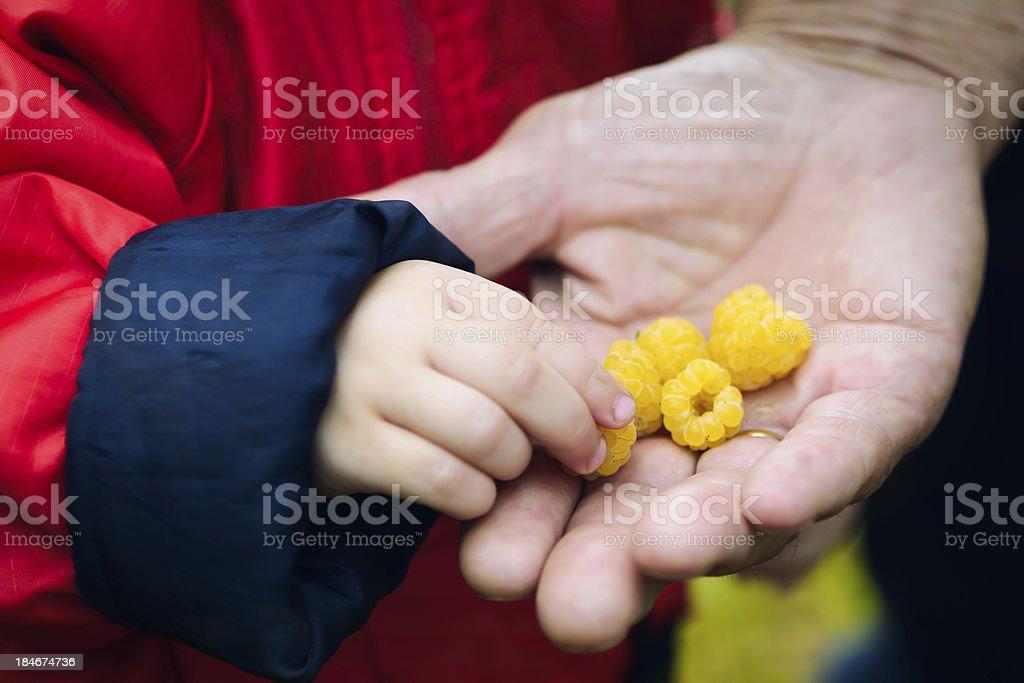 Children's hand takes raspberries royalty-free stock photo