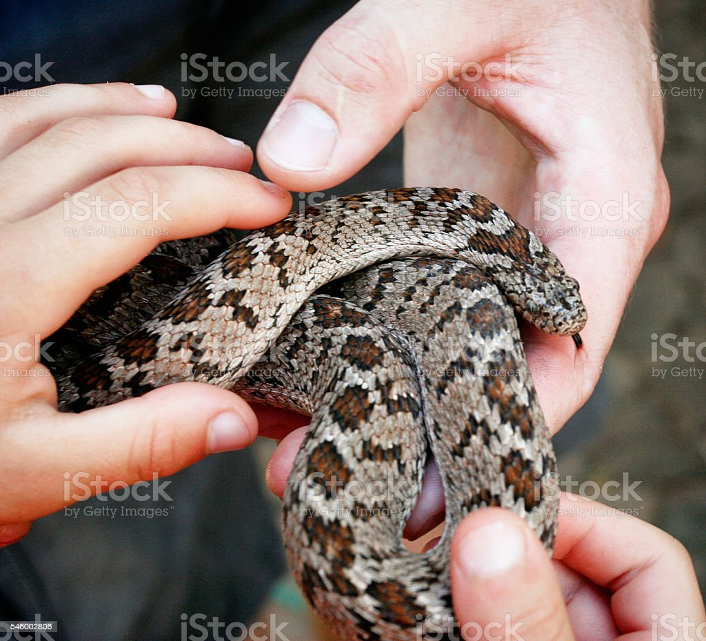 Children's hands touching Taiwanese rat snake offered by handler stock photo