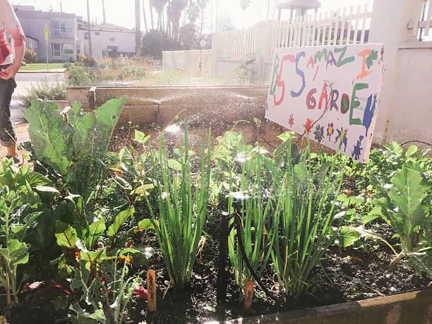Children's school vegetable garden being watered stock photo