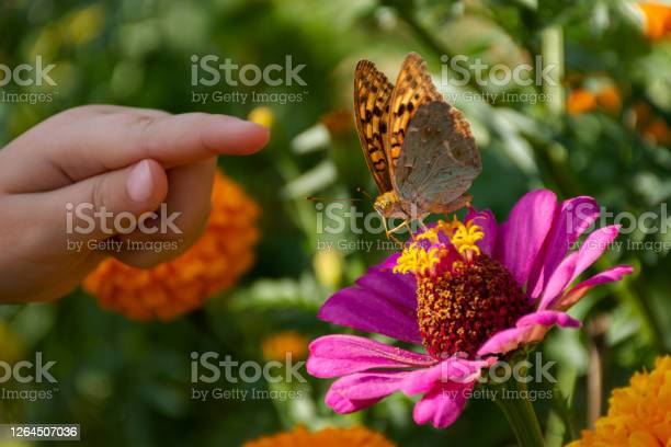 Photo of A child's hand and a butterfly on a flower. The girl is hunting butterflies.