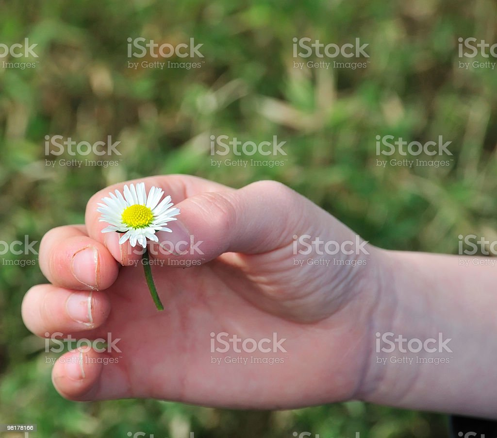 Child's hand holding a daisy royalty-free stock photo
