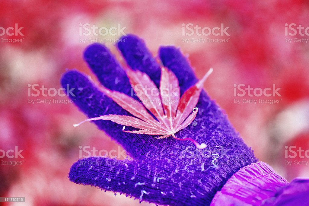 Child's hand holding a Maple leaf royalty-free stock photo