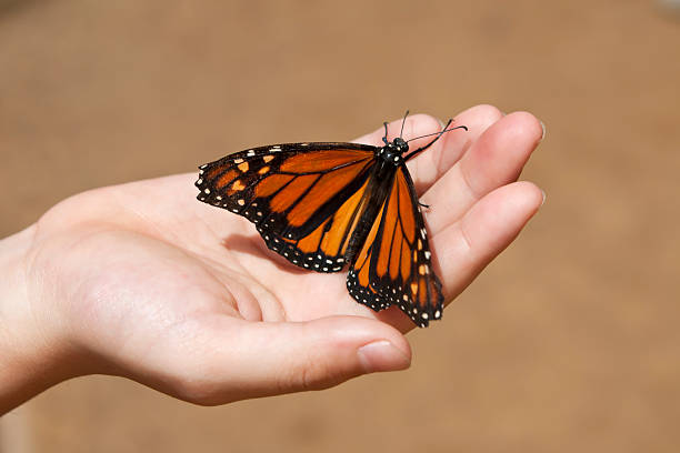 Child's hand holding a Monarch butterfly stock photo