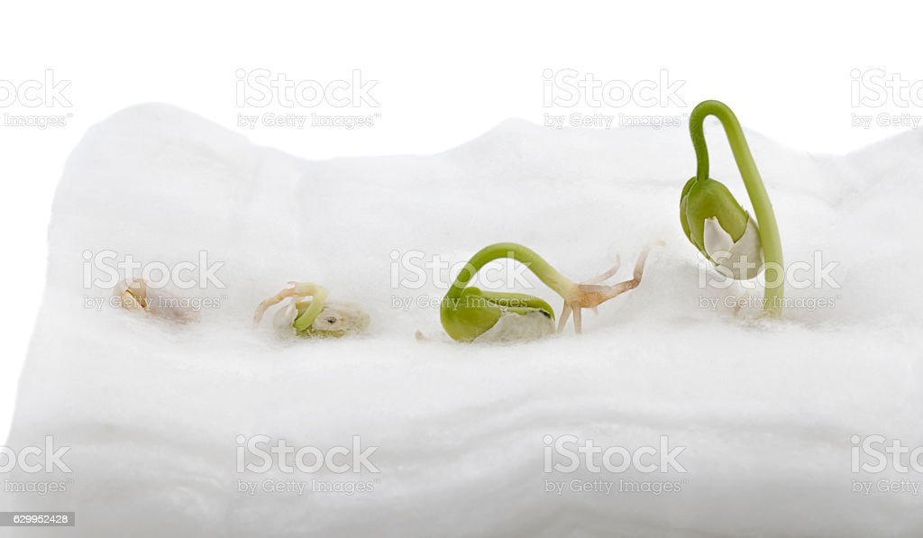 Child's Project: Growing Beans on Cotton stock photo