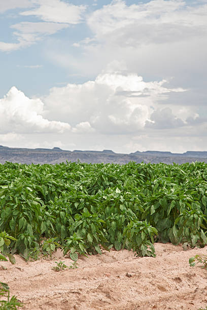 chile field near hatch, new mexico, usa - green chilli pepper stock photos and pictures