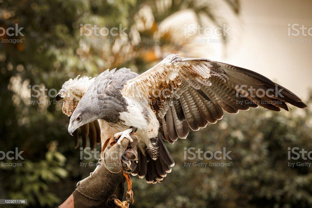 Águia Azul chilena pousar na mão do falcoeiro - foto de acervo