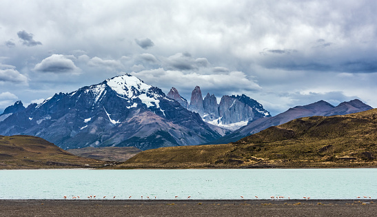 Chilean flamingo (Phoenicopterus chilensis) by the lake in Torres del Paine National Park, Patagonia, Chile