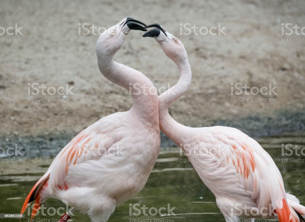 Chilean Flamingos having a squabble - Royalty-free Animal Stock Photo