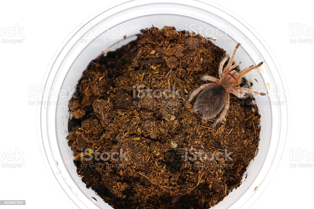 Chilean rose sling tarantula (Grammostola rosea) in plastic cage stock photo