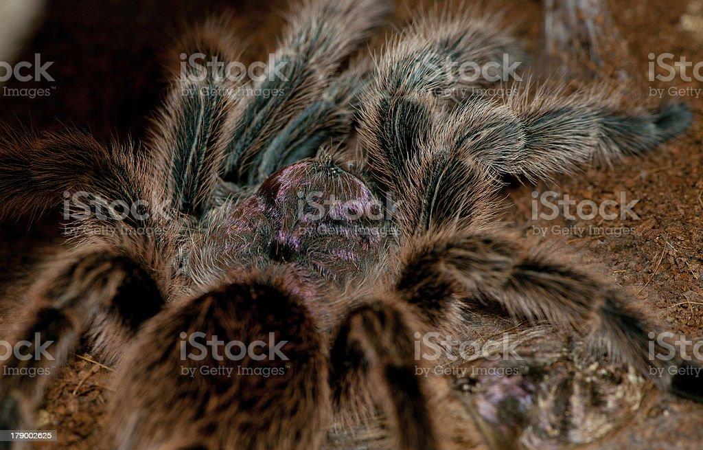 Chilean Rose Tarantula royalty-free stock photo