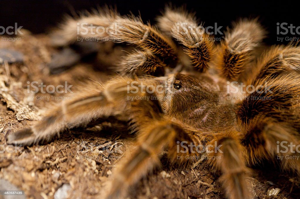 Chilean rose tarantula stock photo