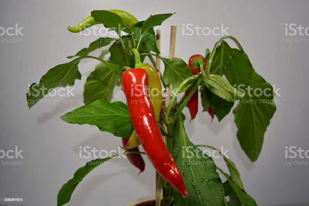 Chili plant stock photo