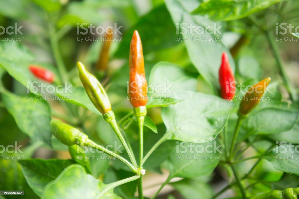 Chili tree in the garden foto stock royalty-free