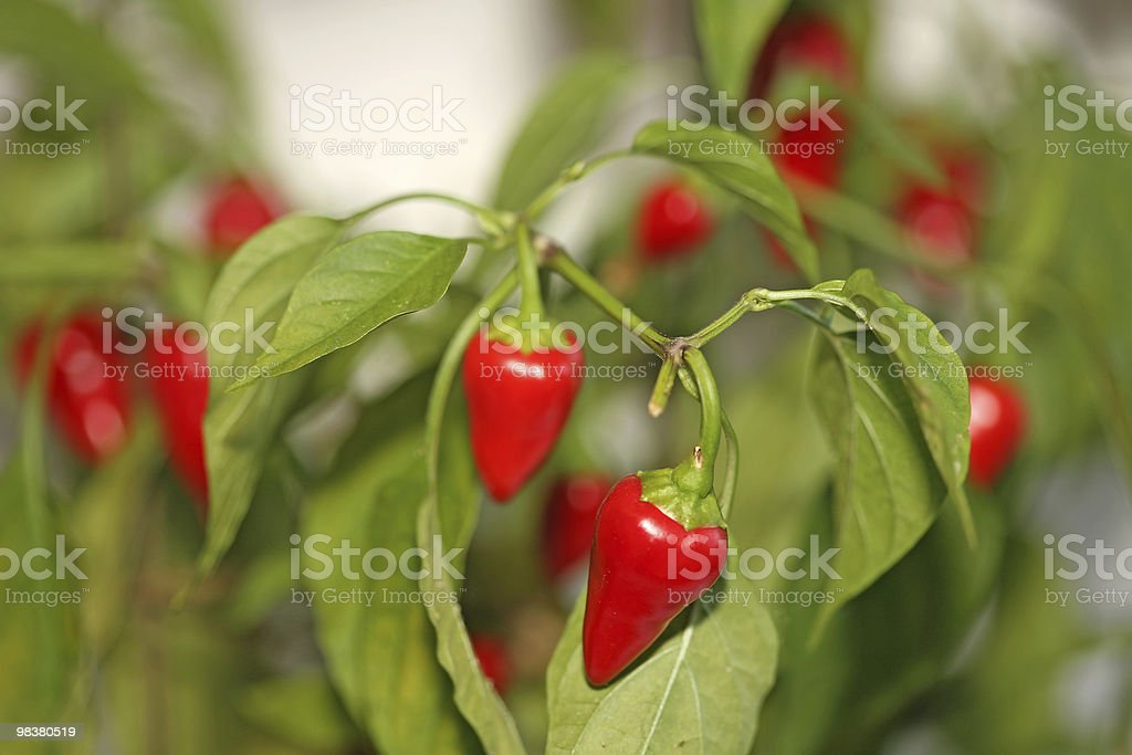 Chilli pepper tree royalty-free stock photo