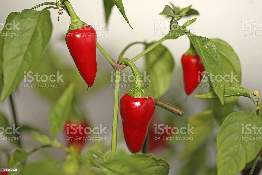 Chilli pepper tree royalty-free stock photo