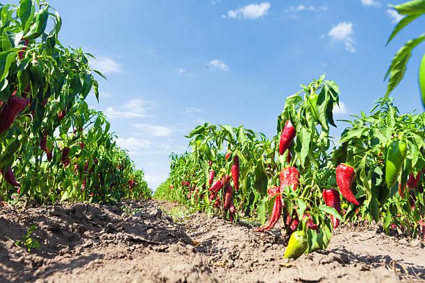 Chillies on field stock photo