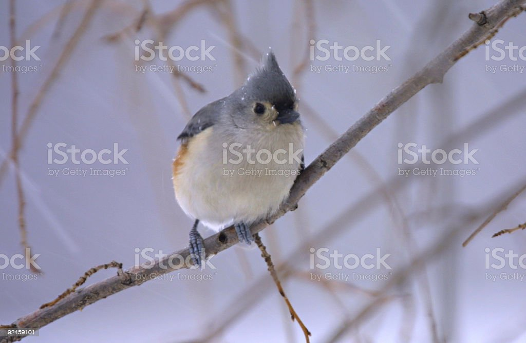 Chilly Tufted Titmouse royalty-free stock photo