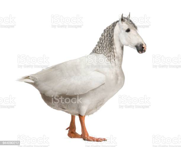 Chimera with a horse and a body of a goose against white background picture id944090212?b=1&k=6&m=944090212&s=612x612&h=w cdjhe6tir1z timmt2ravoa1cha7cm xodbeqovvi=