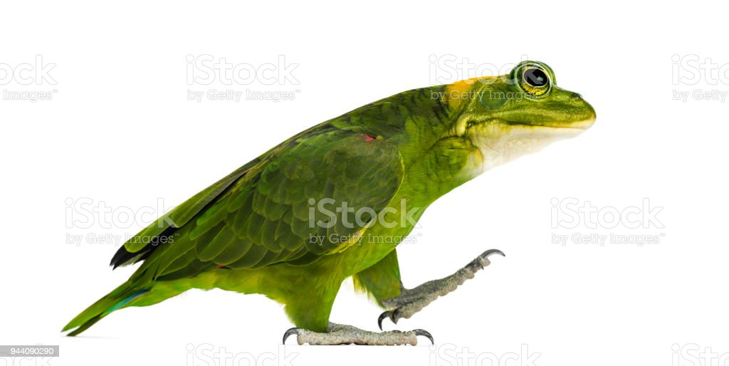 chimera with Yellow-naped parrot with head of frog, walking against white background stock photo