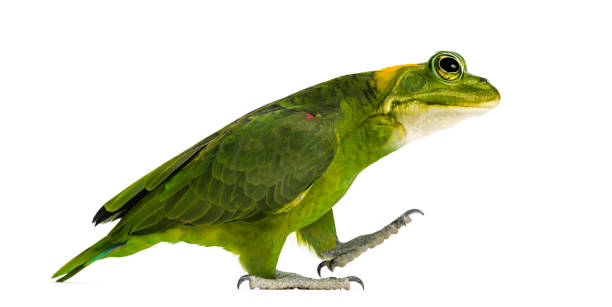 chimera with yellow-naped parrot with head of frog, walking against white background - genetic modification stock photos and pictures