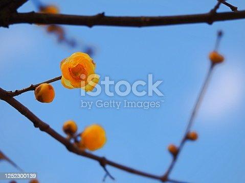 Chimonanthus praecox, called Roubai in Japanese