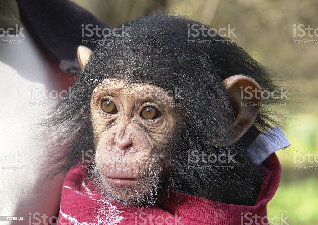 chimp baby stock photo