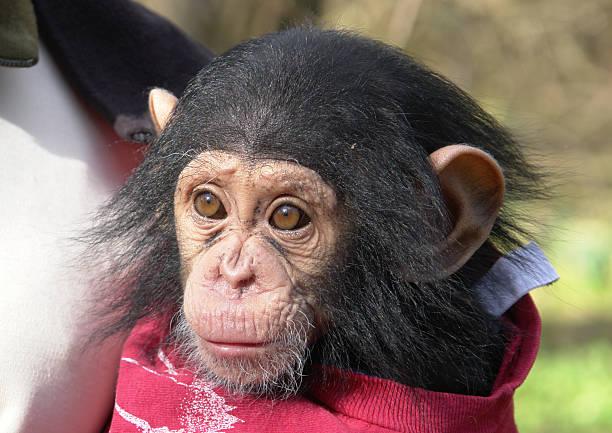 Schimpansen-baby – Foto