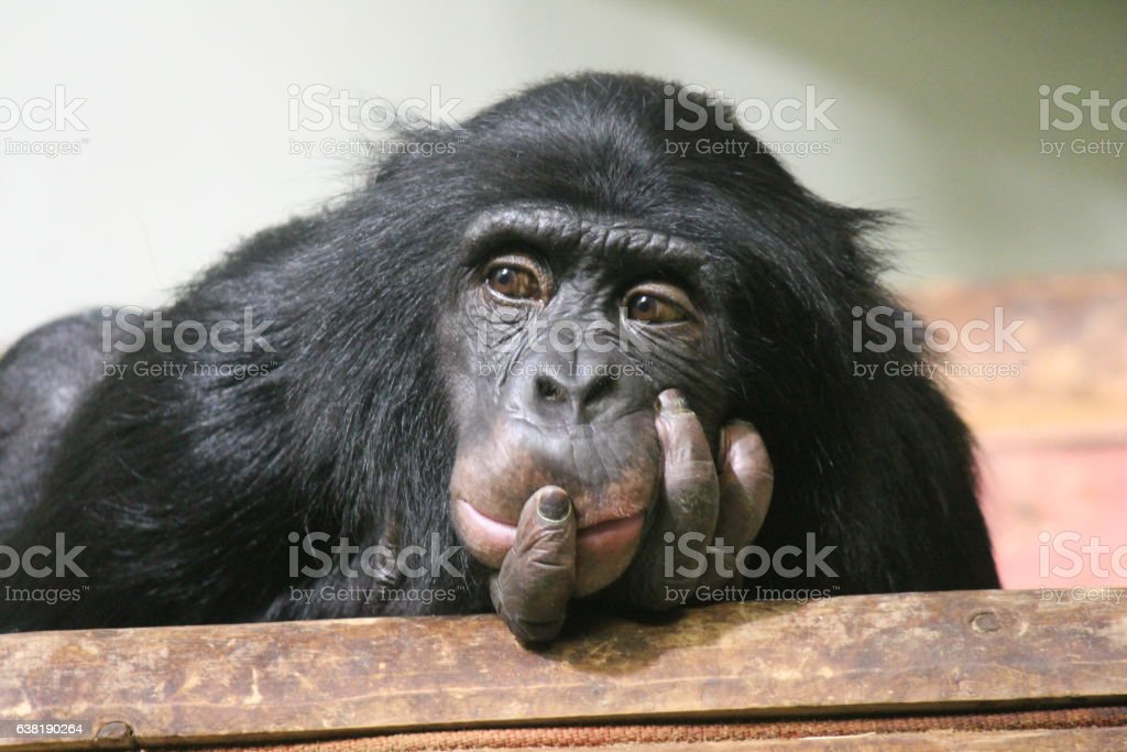 Chimp Common chimpanzee (Pan troglodytes) ape monkey head in hands - Photo