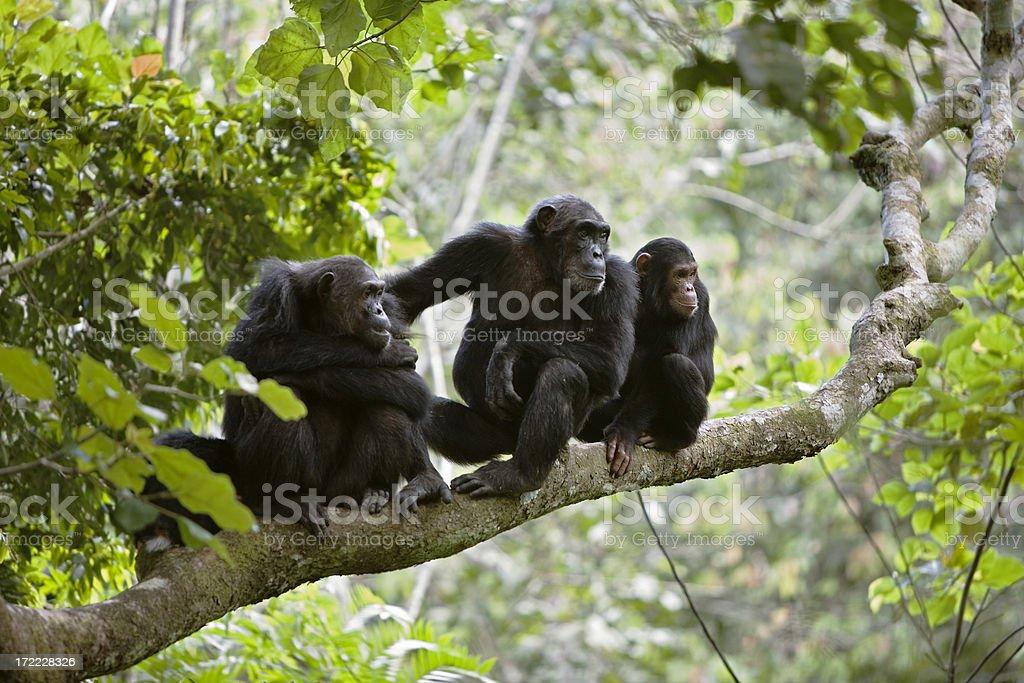 Chimp Family stock photo