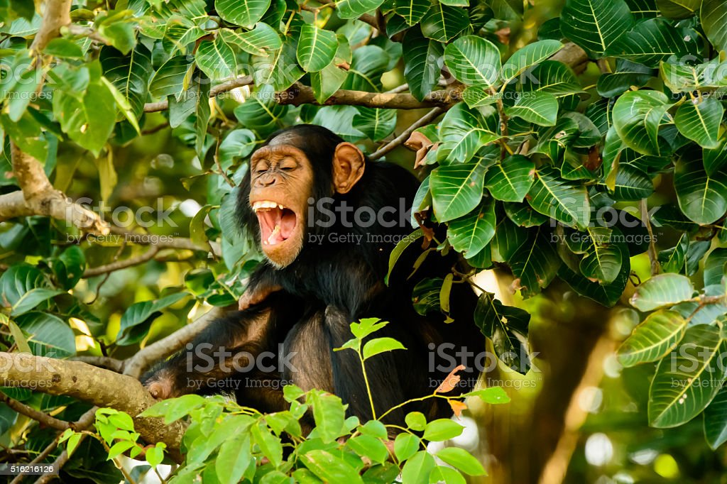 Chimp having a good laugh stock photo