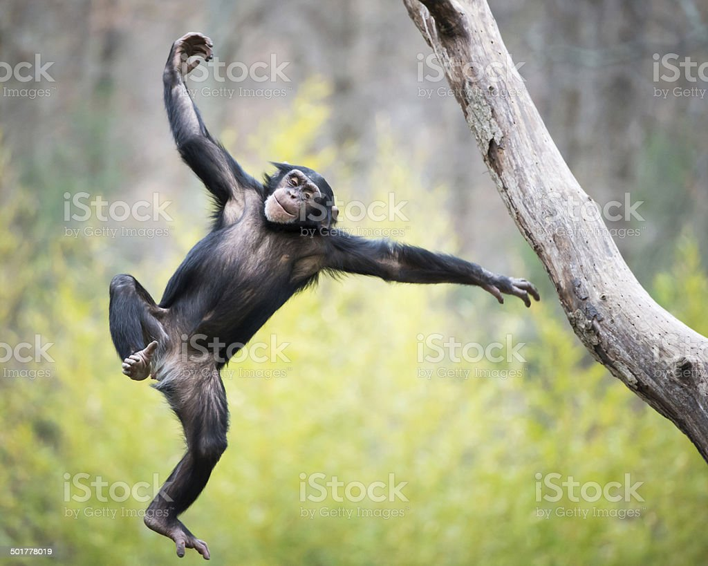 Chimp en vol - Photo
