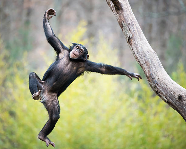 chimp in flight - 猴子 個照片及圖片檔