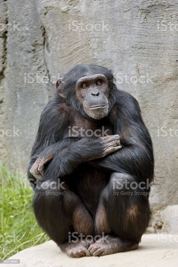 Chimp pose stock photo