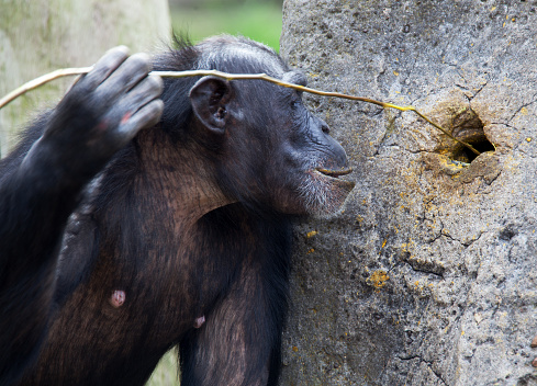 chimp using tools