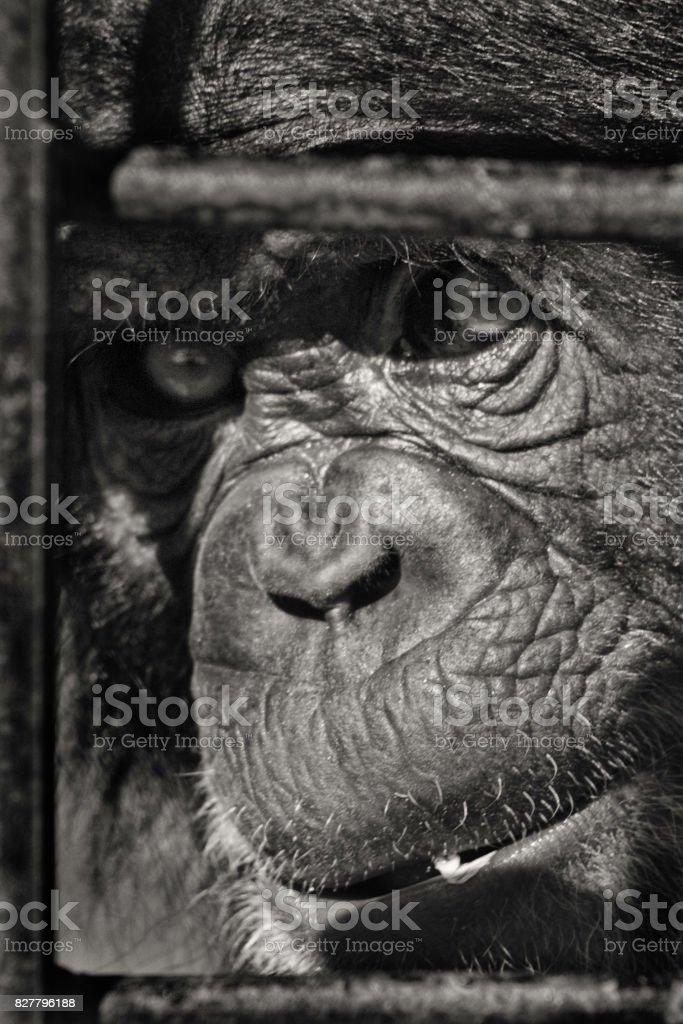 Chimpance stock photo