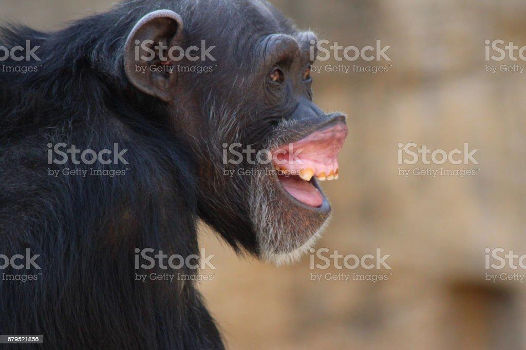 Chimpanse royalty-free stock photo