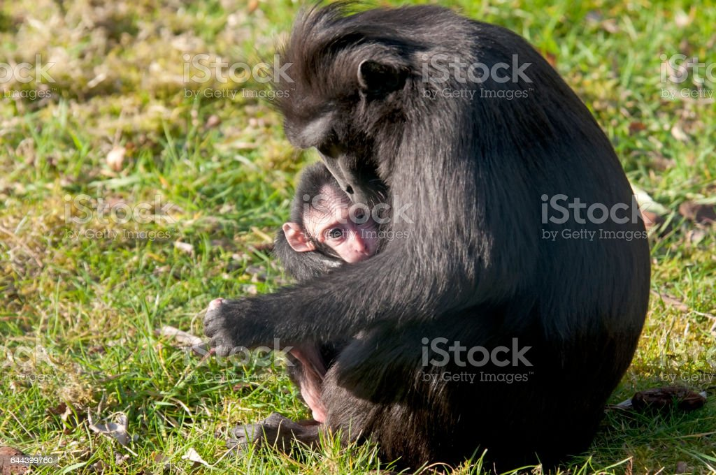 chimpansee mother and baby stock photo