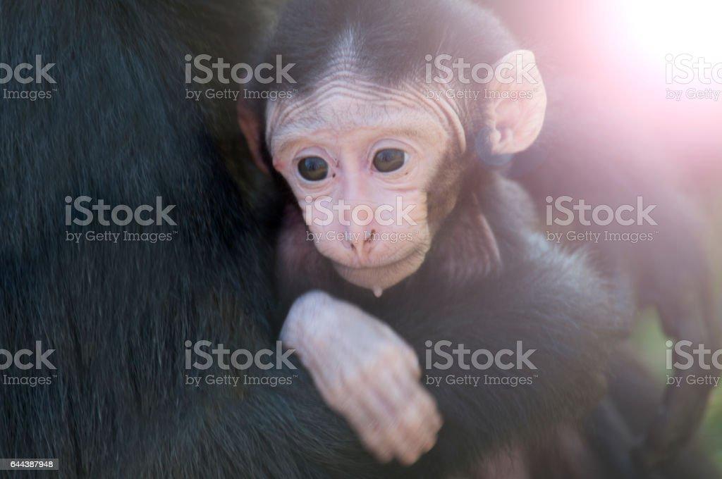 chimpansee stock photo