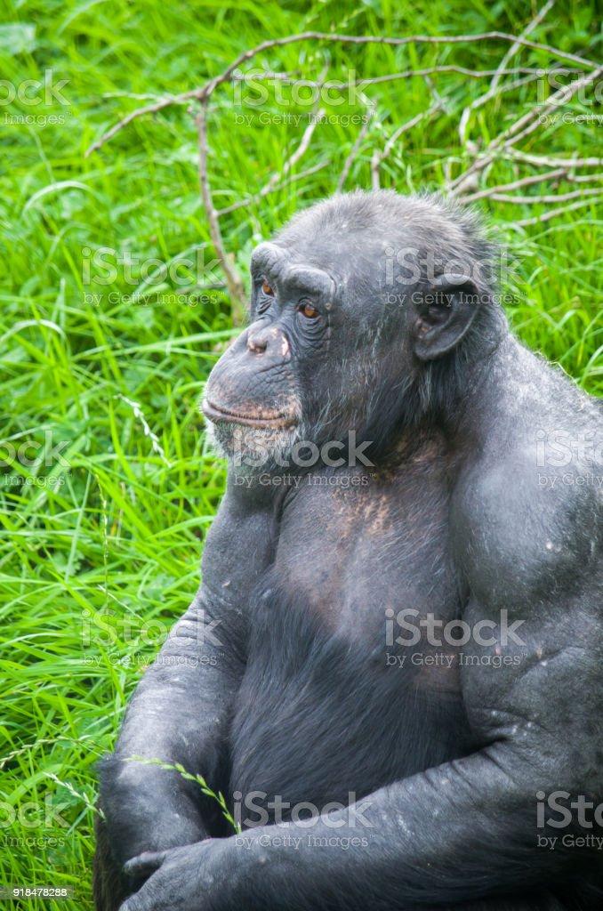 Chimpanze stock photo