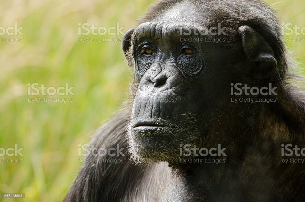 Chimpanzee 4 stock photo