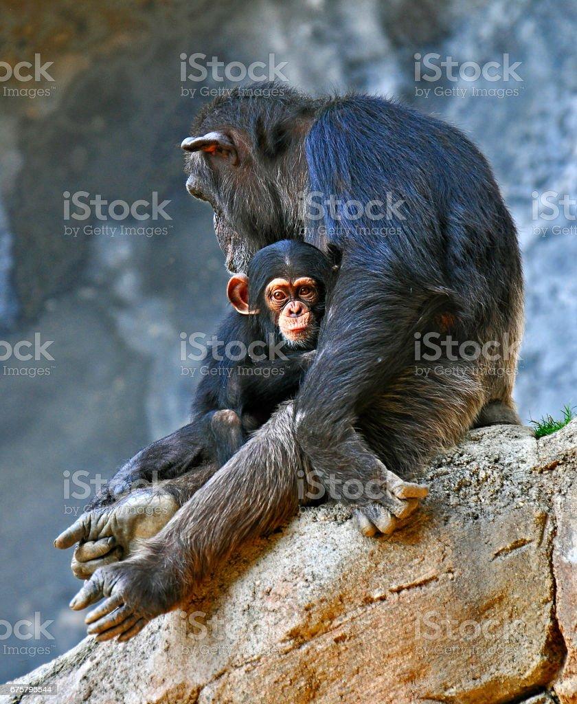 Chimpanzee and baby, stock photo