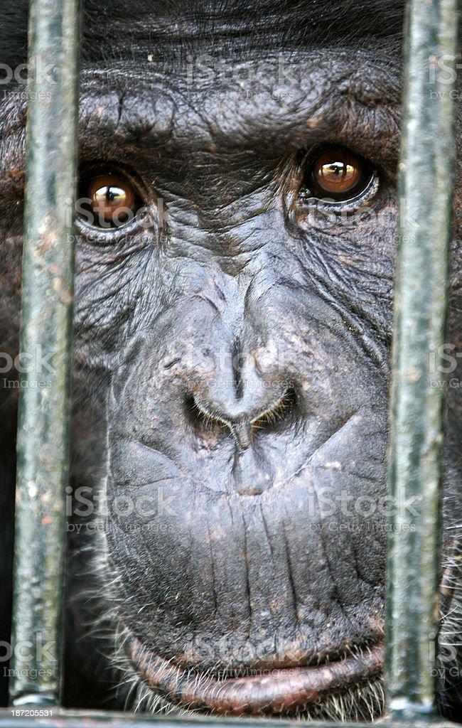 Chimpanzee at sanctuary stock photo