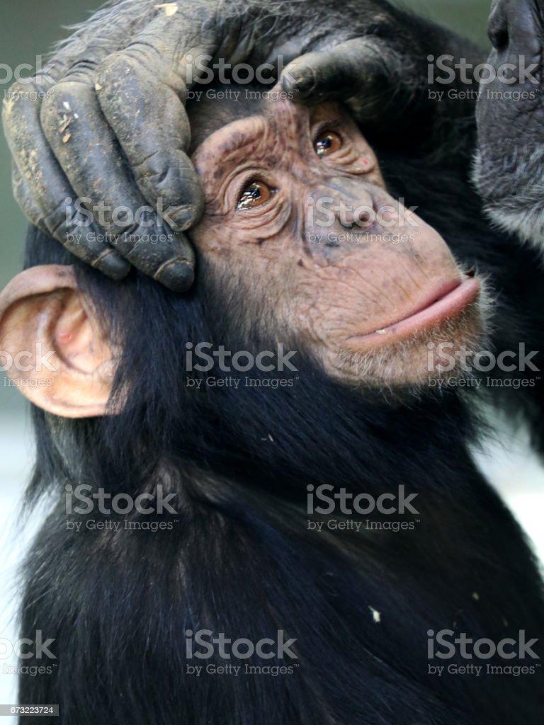 Chimpanzee baby stock photo