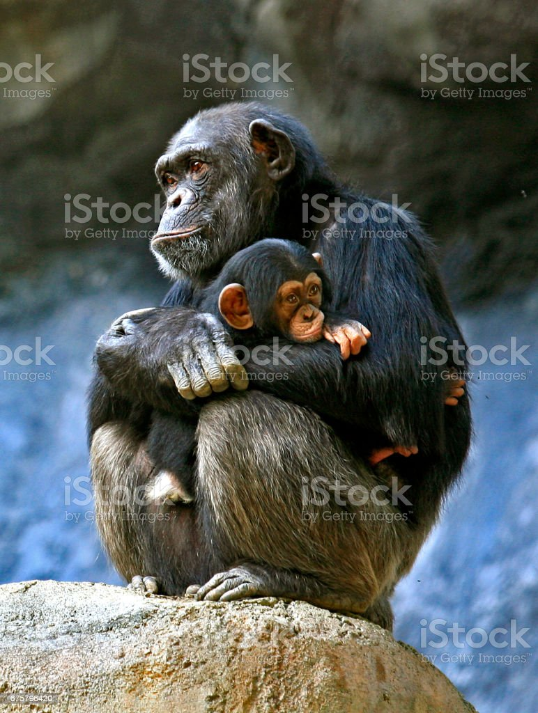 Bébé chimpanzé, - Photo