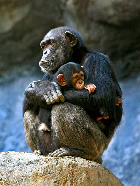 chimpanzee baby, - ape stock pictures, royalty-free photos & images