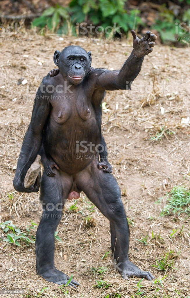 Chimpanzee Bonobo mother with child puts a hand up. stock photo